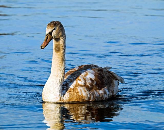Swan, Cygnet, Water Bird, Schwimmvogel, Animal, Young