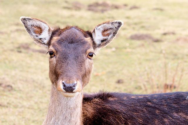 Roe Deer, Fallow Deer, Nature, Animal, Young Deer