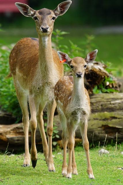 Fallow Deer, Doe, Fawn, Hirsch, Young, Mammal