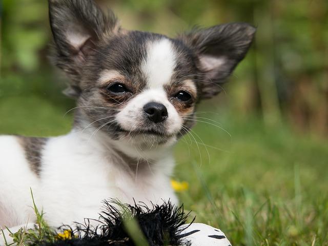 Chihuahua, Dog, Puppy, Baby, Play, Young, Cute, Chiwawa