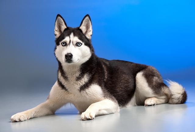 Dog, Husky, Sled Dog, Animal, Young Dog