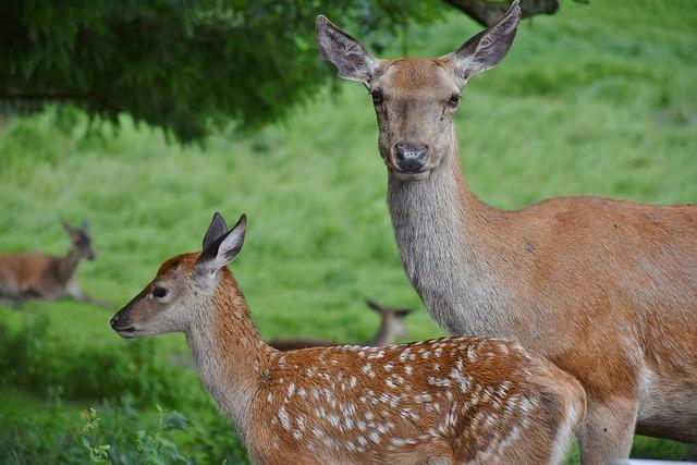 Roe Deer, Kitz, Young, Dam, Suckle, Drink, Wild, Bambi