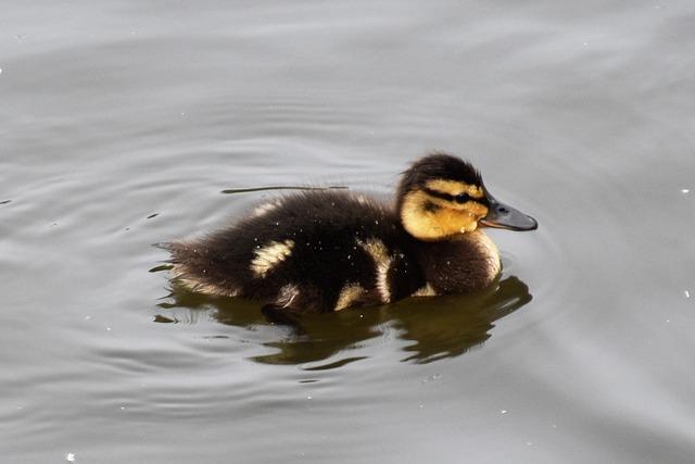 Duckling, Bird, Duck, Cute, Young, Beak, Fluffy, Animal
