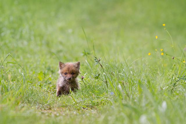 Fuchs, Young Fox, Wild Animal, Fox Puppy