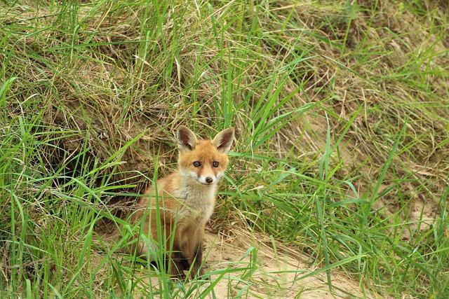 Young Fox, Red Fox, Fuchsbau, Play, Puppy, Fox Puppy