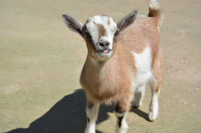 Zoo, Goat, Young Goat, Kid, Goat Baby
