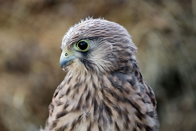 Falcon, Young Hawk, Bird Of Prey, Raptor, Freilebend