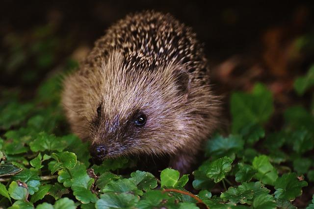 Eye To Eye, Hedgehog Child, Young Hedgehog, Hedgehog