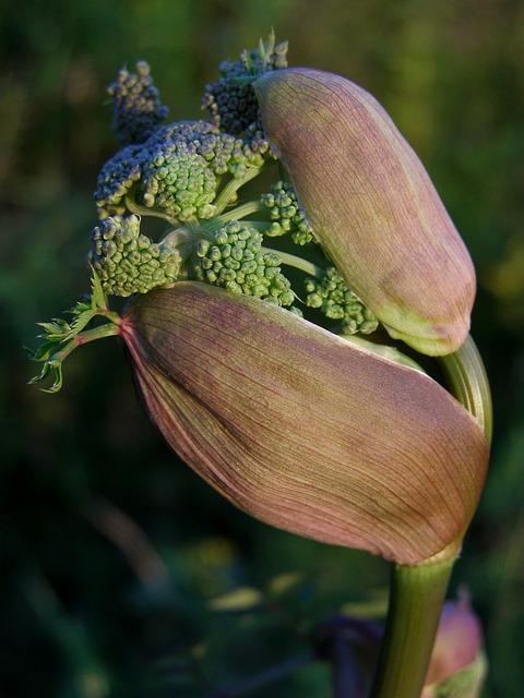 Angelica Sylvestris, Herb, A Medicinal Plant, Young