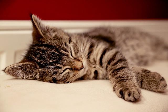 Cat, Animal, Kitten, Domestic, Cute, Pet, Young, Sleep