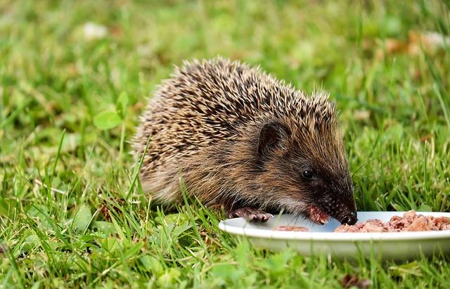 Hedgehog, Animal, Mammal, Hannah, Young, Meal