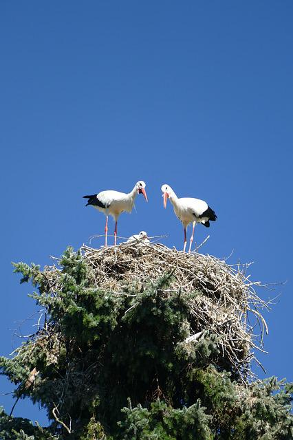 Storks, Treetop, Nest Cherish, Young, Bird Park