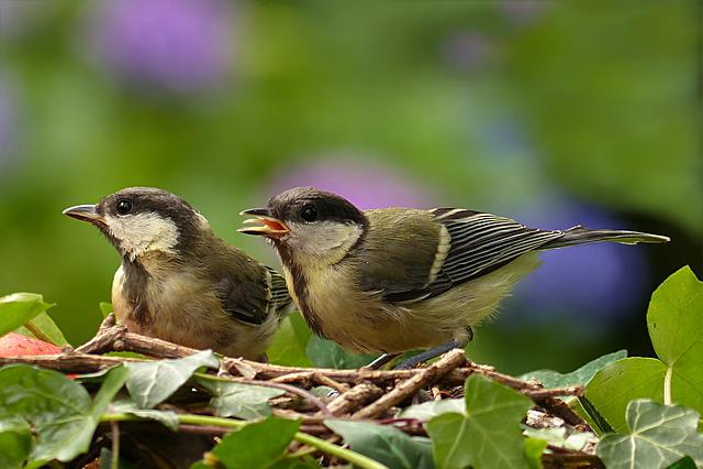 Bird, Tit, Parus Major, Young, Hunger, Garden
