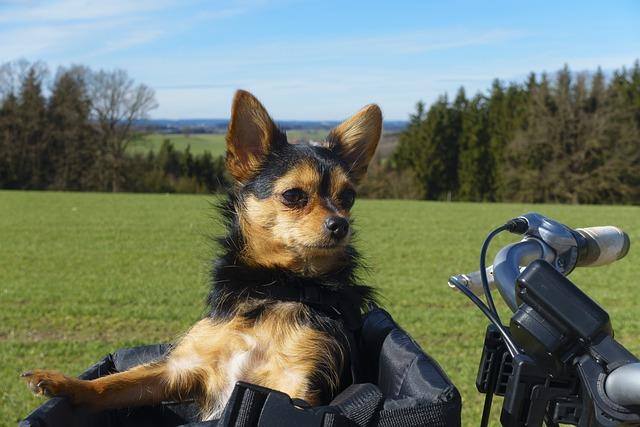 Bike Ride, Dog Basket, Dog, Young, Portrait, Nature