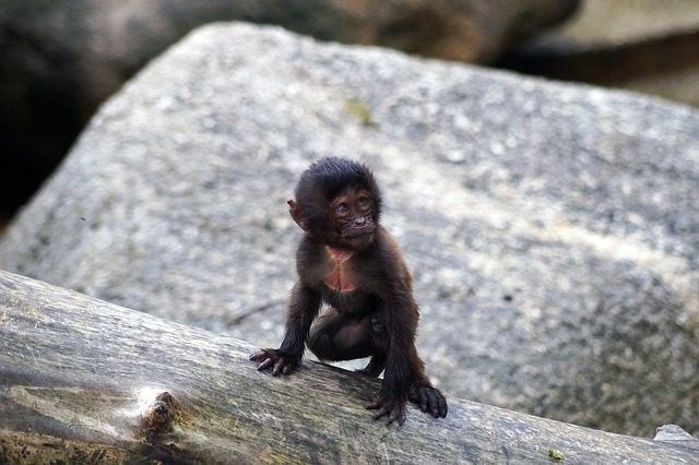 Monkey, Puppy, Zoo, Ape, Young, Primate