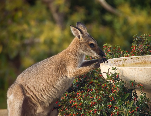 Wallaby, Rednecked Wallaby, Thirsty, Drink, Young