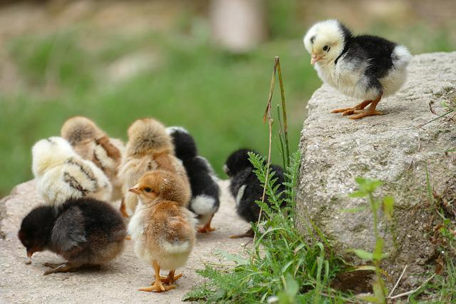 Chick, Chicken, Them, Poultry, Bird, Animal, Young
