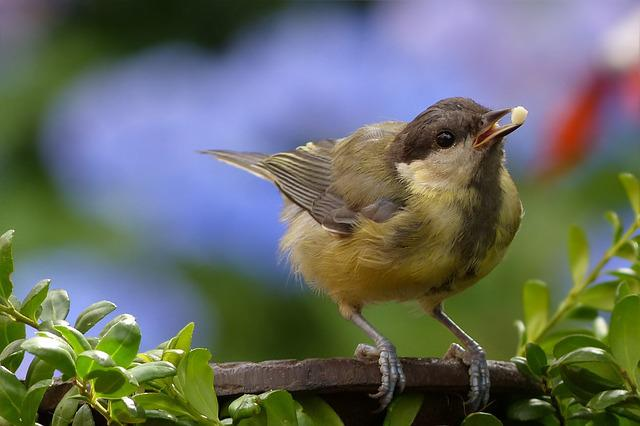 Tit, Parus Major, Bird, Young, Foraging, Garden