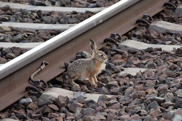Young Wild Rabbit, Near Railway, Track, Rail, Stones