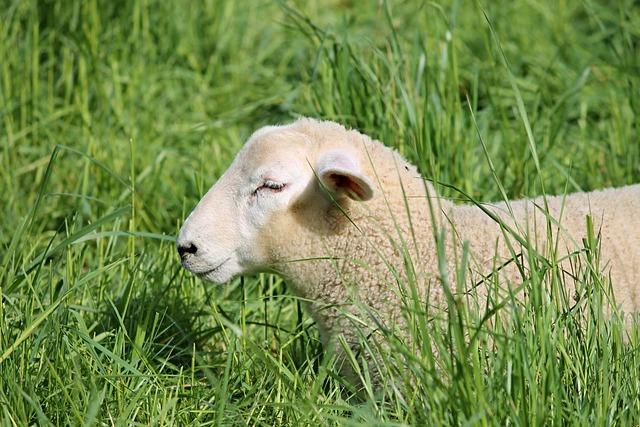 Lamb, Sheep, Schäfchen, Wool, Juvenile, Young, Pasture