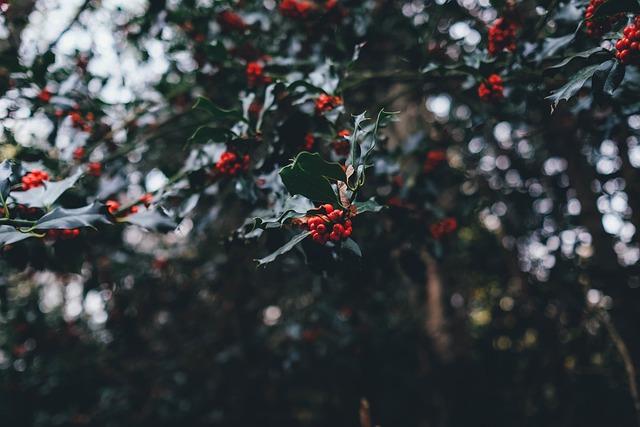 Holly Berries, Yuletide Holly Berries, Holly, Yuletide