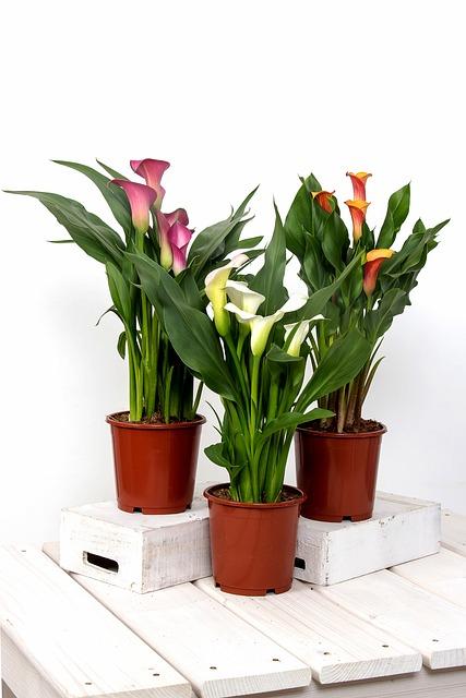 Calla, Zantedeschia, Flower, Group, Blossom, Bloom