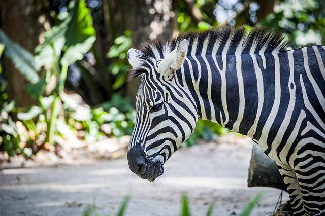 Zebra, Grevy, Black And White Striped, Africa