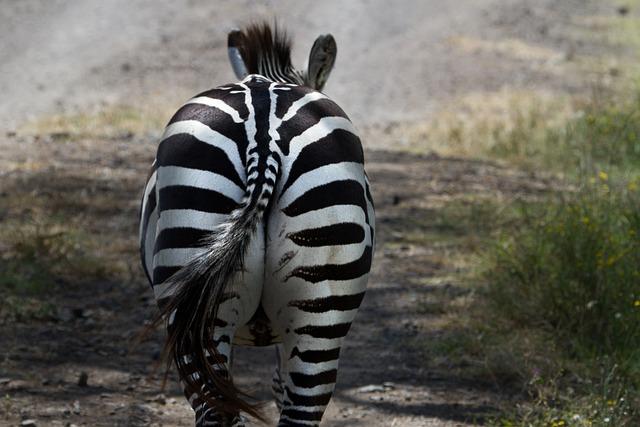 Zebra, National Park, Lake Nakuru, Africa, Kenya