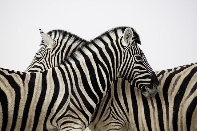 Zebra, Stripes, Couple, Love, Animal, Africa, Safari