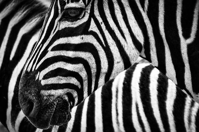 Texture, Zebra, Stripes