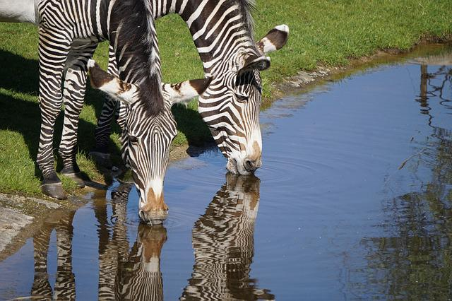 Zebras, Zoo, Water Reflection, Mammal, Africa