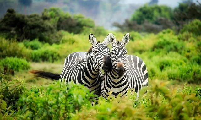 Kenya, Africa, Zebras, Wildlife, Animals, Cute