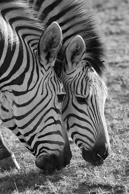 Zebra, Zebras, Hartmann's, Mountain Zebra, Stripes