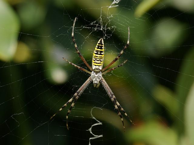 Spider, Wasp Spider, Zebraspinne, Tiger Spider