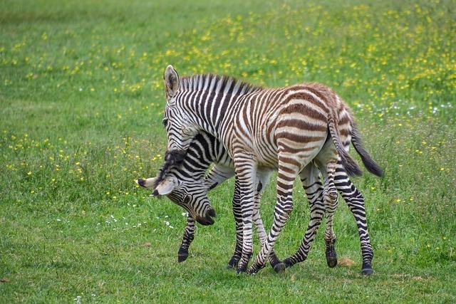 Zebra, Zébreau, Play, Petit, Young, Baby, Two, Prairie