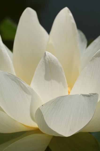 Flower, Plant, Lotus, Garden, Nature, Meditation, Zen