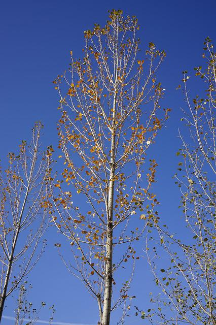 Zhangye, White Birch, Autumn