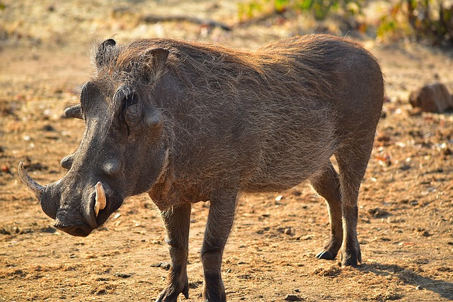 Warthog, Africa, Animal, Zimbabwe