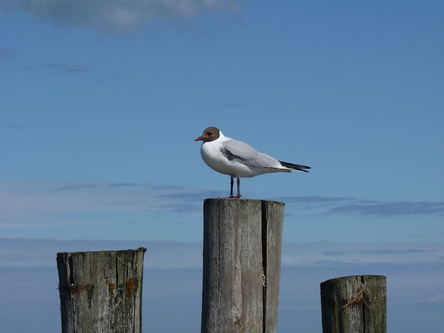 Baltic Sea, Gull, Darß, Zingst, Sea, Seagull, Birds