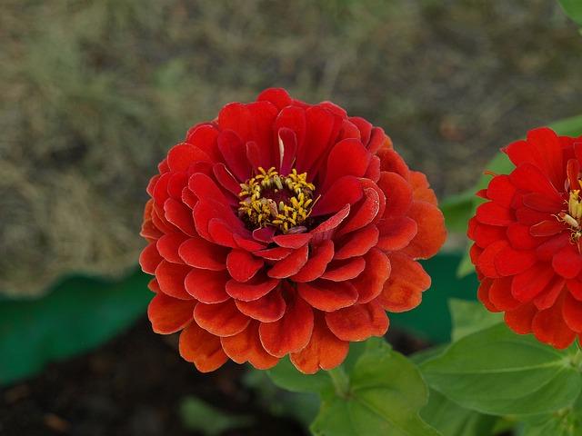 Zinnia Daliowa, Zinnia Elegans, Zinnia, Flower, Flowers
