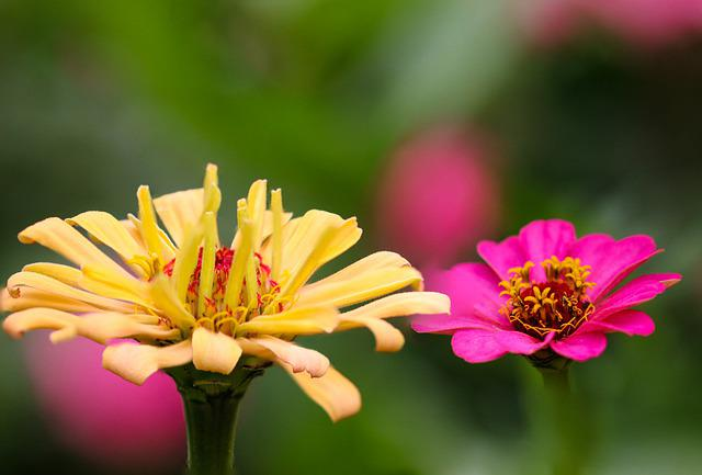 Zinnia, Flowers, Plants, Yellow Flower, Pink Flower
