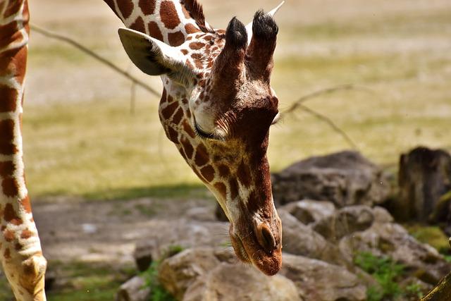 Giraffe, Zoo, Animal, Animal Portrait