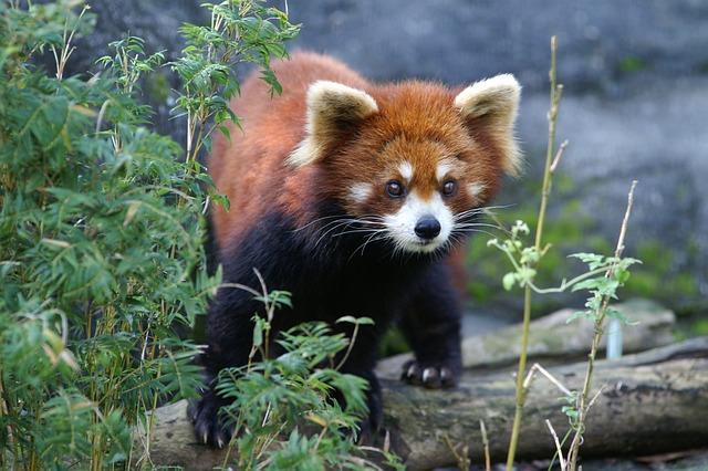 Red Panda, Zoo, Animal