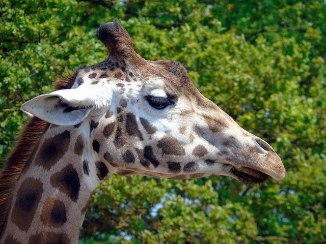 Giraffe, Animal, Wild, Zoo, Wildlife, Nature, Mammal