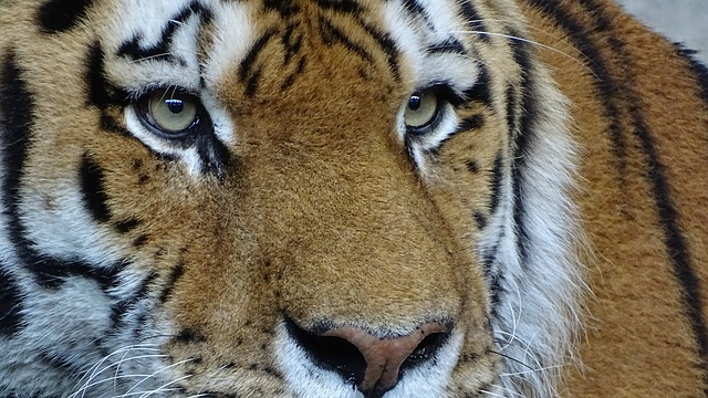 Animals, Tiger, Cat, Amurtiger, Siberian Tiger, Zoo
