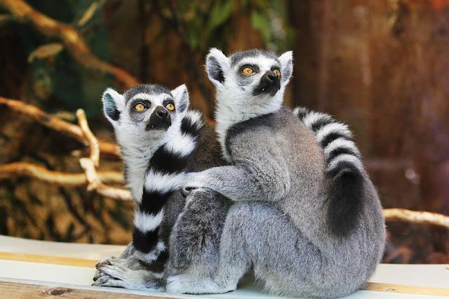 Lemurs, Animals, Zoo, Ring-tailed Lemurs, Lemuridae