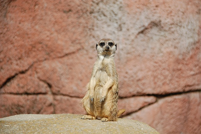 Meerkat, Africa, Animal, Wild, Animals, Zoo
