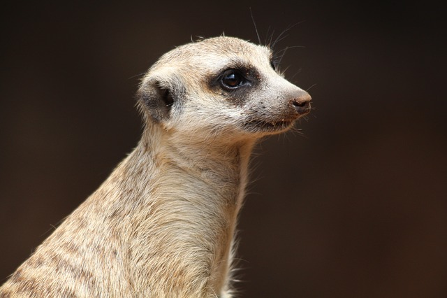 Animal, Meerkat, Nature, Ausschau, Dreams, Close, Zoo