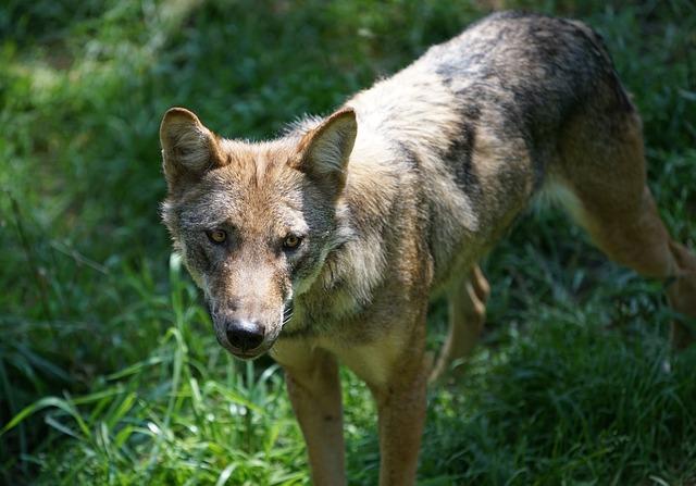 Wolf, Zoo, Cute, Predator, Deer Park, Canine