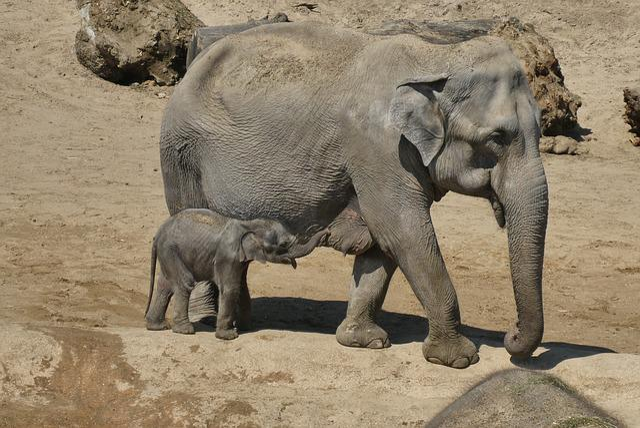 Elephant With Boy, Young Elephant, Zoo, Planckendael